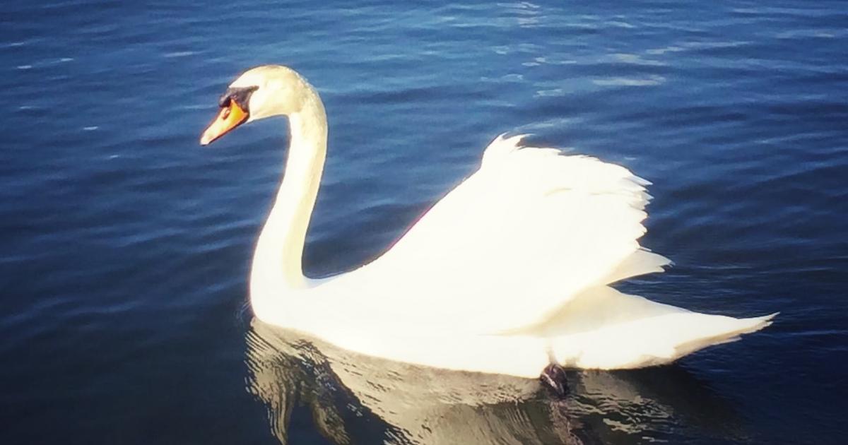 水面を泳ぐ白鳥