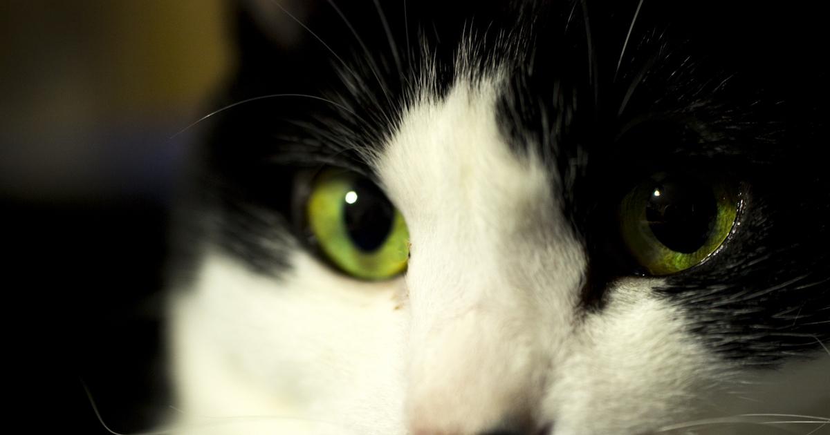 目力のある猫